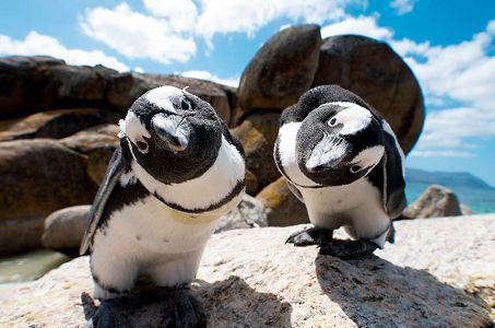boulders-beach-penguins_453_300_80auto_s